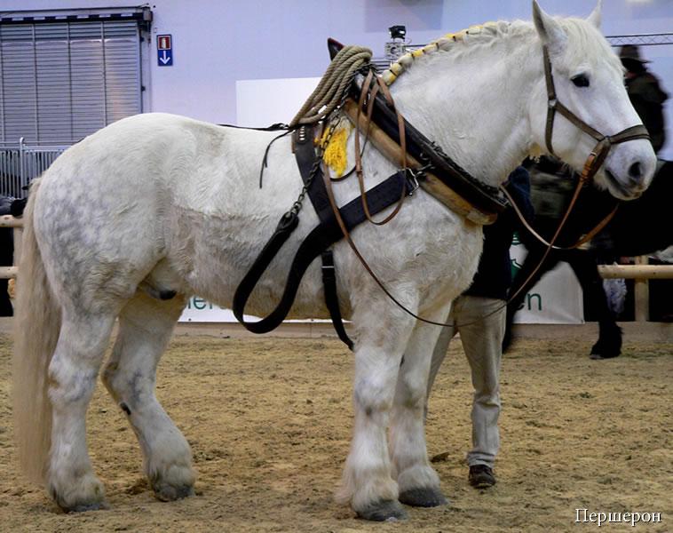 фото лошади породы першерон
