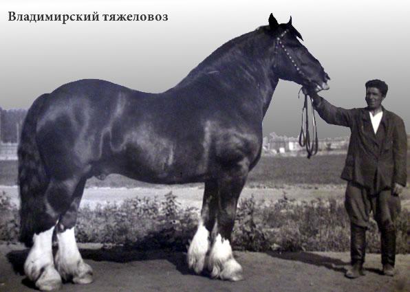 http://fourhoofs.ru/pics/breeds/vladimir-tyajelovoz-old-b.jpg
