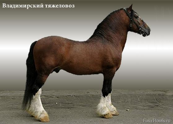 http://fourhoofs.ru/pics/breeds/vladimir-tyajelovoz-present-01b.jpg