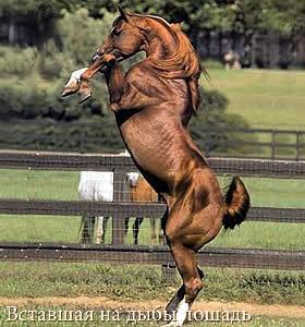 Вставшая на дыбы лошадь