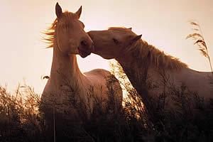 Обнюхивание лошадьми — социальное действие